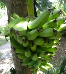 Banany w ogrodzie
