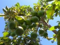 Avocado na drzewie