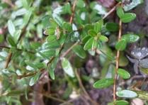Świeża roślina żurawiny