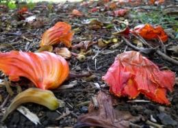 Czerwień także jesienią w roślinach tropikalnych