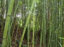 Bambus w lesie karaibskim