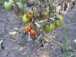 Coraz mniejsze owoce pomidora