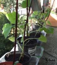Młode rośliny patisona na balkonie