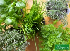Domowe popularne zioła OGRODNIKA