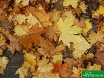 Zbieramy liście