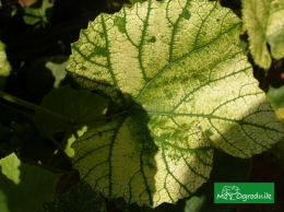 Niedobory u winogrona