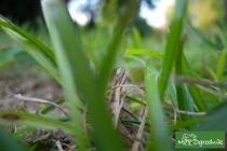 Uważajmy na pleśń trawnikową