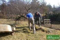 jak wycinać drzewo owocowe?