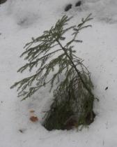 Świerk w śniegu