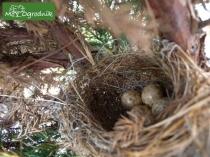 Jajka ptaka złożone w gałęziach jałowca