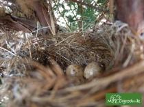 Jajka w gnieździe - w jałowcu