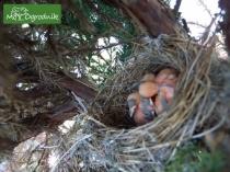 Gniazdo w jalowcu - typowe dla kapturki