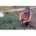 Ogrodniczka sadzonkuje lawendę