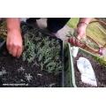 Jak zrobić sadzonki lawendy?