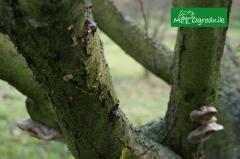 Drzewka owocowe chorują