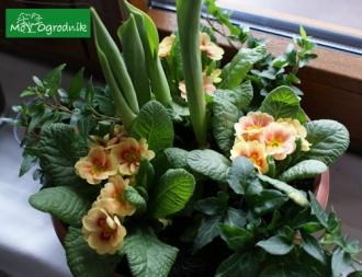 Kompozycja wiosenna z tulipanów i pierwiosnków