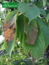 Dziurkowatość liści