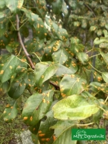 Rdza jałowcowo-gruszowa na gruszy