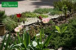 Rośliny cebulowe są dopełnieniem rabaty