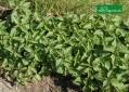 Pokrzywa -sprzymierzeniec ogrodników