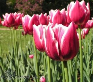 Tulipany w Warszawie