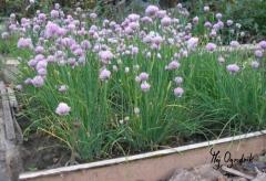 Zioła io kwiaty polne w ogrodzie