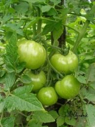 Pomidor  jeszcze zielony