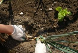 Już nie czas na sadzenie w warzywniaku