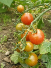 Pomidor 'Koral'