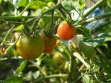 Pomidorki koktailowe