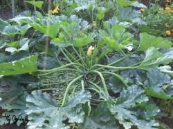 Roślina cukinni