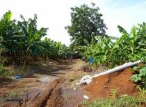 Plantacja bananów na Karaibach