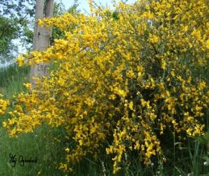 Ostry żółty w ogrodzie
