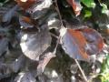 Buk pospolity 'Purpurea'