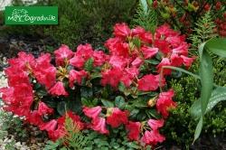 W kwietniu rozpoczyna kwitnąć różanecznik rozesłany