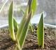 Sadzenie cebulek (2): proste sposoby