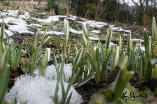 Przebiśnieg pospolity (łc. Galanthus nivalis)