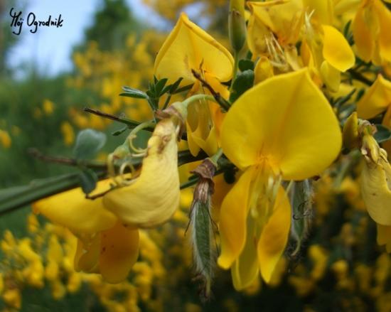 Żarnowiec miotlasty (łc. Cytisus scoparius)