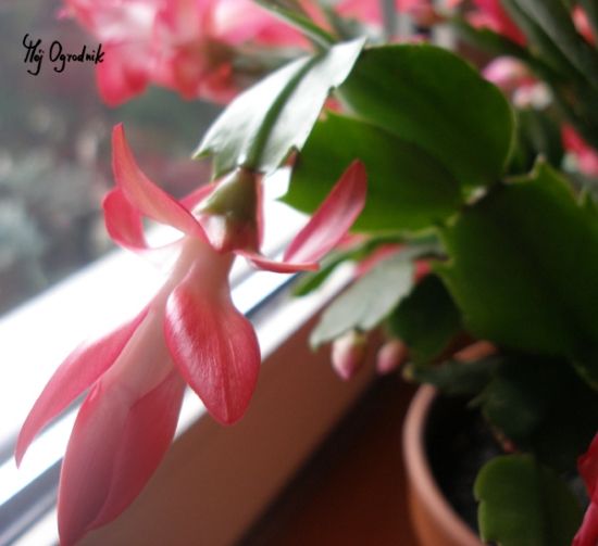 Grudnik (kaktus bożonarodzeniowy) (łc. Schlumbergera)