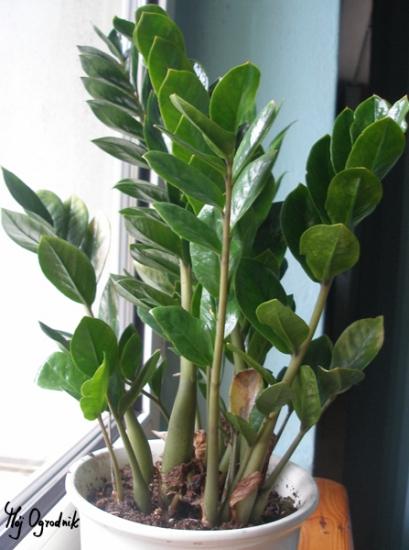Zamiokulkas zamiolistny (łc. Zamioculcas zamiifolia)