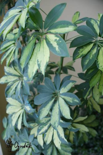 Szeflera drzewkowata (łc. Schefflera arboricola)