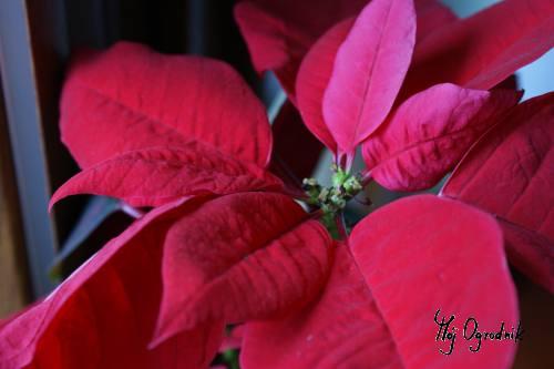 Poinsecja -Gwiazda betlejemska (łc. Euphorbia pulcherrima)