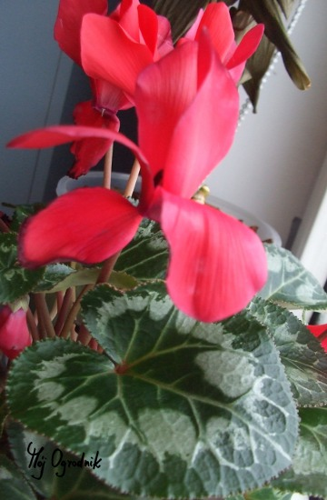 Cyklamen perski (łc. Cyclamen persicum )