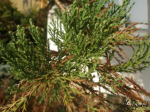 Mamutowiec olbrzymi (łc. Sequoiadendron giganteum)