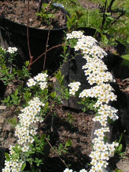 Tawuła nippońska (łc. Spiraea nipponoca)