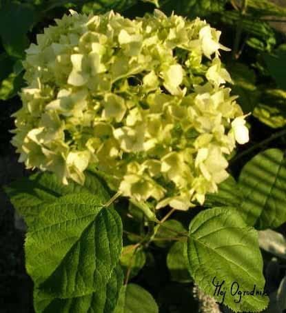 Hortensja ogrodowa (łc. Hydrangea macrophylla)