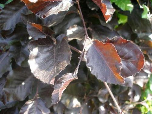 Buk pospolity 'Purpurea' (łc. Fagus sylvatica 'Purpurea')