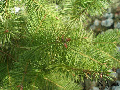 Daglezia zielona (łc. Pseudotsuga menziesii)