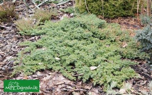 Jałowiec rozesłany odm. 'Nana' (łc. Juniperus procumbens 'Nana')