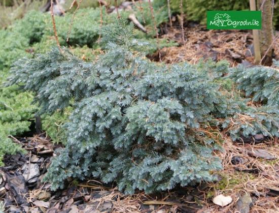 Jałowiec łuskowy 'Blue Star' (łc. Juniperus squamata 'Blue Star')
